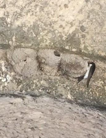 Fütternde Mehlschwalbe im Abrissgebäude